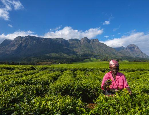 Wat te doen in Malawi: vrouw plukt thee met Mount Mulanje in de achtergrond