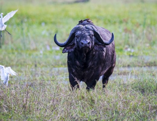 Op Safari in Malawi: Kaapse buffel in Liwonde National Park